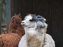 Alpaca in cortile Fotografia Stock Libera da Diritti