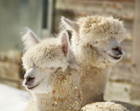 Alpaca couple Stock Photo