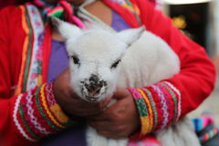 Alpaca cub. In Peru, hand-held by a woman in the national clothes Stock Photography