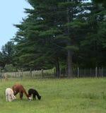 Alpaca da matriz com bebê Crias Imagens de Stock Royalty Free