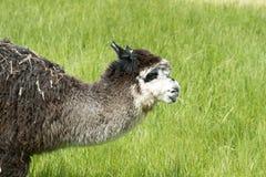 Alpaca, Dark Brown Llama On Green Meadow Stock Images