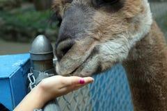Alpaca de alimentación de la mano del ` s de la niña imagen de archivo
