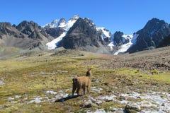 Alpaca in de bergen van de Andes van Bolivië stock afbeeldingen