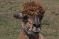 Alpaca de Brown imagen de archivo libre de regalías