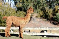 Alpaca de Suri Fotos de Stock Royalty Free