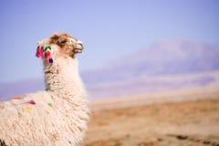Alpaca in de woestijn Royalty-vrije Stock Afbeeldingen
