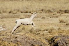 Alpaca del bebé Fotos de archivo