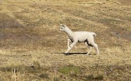 Alpaca del bebé Imagen de archivo libre de regalías