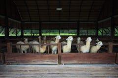 Alpaca del lama in azienda agricola Fotografia Stock