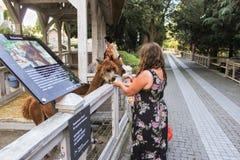 Alpaca dell'alimentazione della gente Fotografia Stock Libera da Diritti