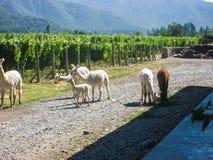 Alpaca della vigna Fotografie Stock
