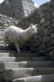 Alpaca descending Inca stairway Royalty Free Stock Images