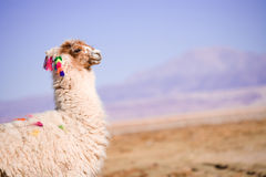 Alpaca in the desert Royalty Free Stock Images