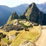 Alpaca di Machu Picchu Fotografia Stock Libera da Diritti