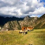 Alpaca di Machu Picchu Immagine Stock Libera da Diritti