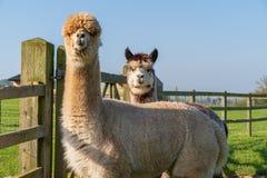 Alpaca di sguardo divertente all'azienda agricola fotografie stock libere da diritti