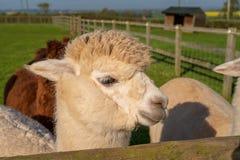 Alpaca di sguardo divertente all'azienda agricola immagine stock