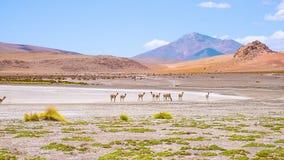Alpaca die in aard, de Andes Uyuni Bolivië lopen