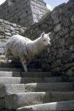 Alpaca die trap Inca daalt Royalty-vrije Stock Afbeeldingen