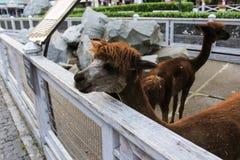 Alpaca dietro il recinto Immagine Stock