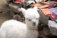 Alpaca do bebê em um mercado peruano local Imagens de Stock