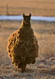 Alpaca do lama Fotos de Stock Royalty Free