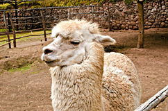Alpaca. The alpaca is a domestic species of artiodactilo mammal of the family Camelidae. Genetically derived mostly from the wild vicuña and flame.n Royalty Free Stock Photo