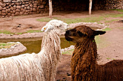 Alpaca. The alpaca is a domestic species of artiodactilo mammal of the family Camelidae. Genetically derived mostly from the wild vicuña and flame Royalty Free Stock Image