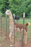 Alpaca domestica Immagini Stock Libere da Diritti