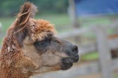 Alpaca domestica Fotografie Stock