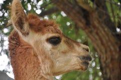 Alpaca domestica Fotografia Stock Libera da Diritti