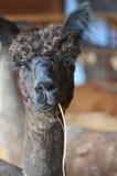Alpaca domestica Fotografie Stock Libere da Diritti