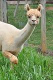 Alpaca domestica Immagini Stock