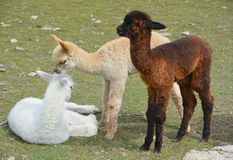 Alpaca. Is a domesticated species of South American camelid. It resembles a small llama in appearance.s are kept in herds that graze on the level heights of the Royalty Free Stock Photography