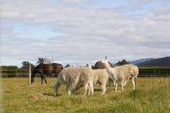 Alpaca e cavalli all'azienda agricola con il cielo e la montagna Immagine Stock