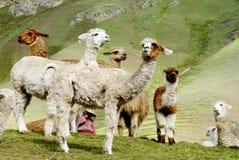 Alpaca e lame bianche simili a pelliccia sveglie Fotografia Stock Libera da Diritti