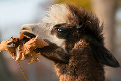 Alpaca. Eating a dry autumn leaf Stock Photo