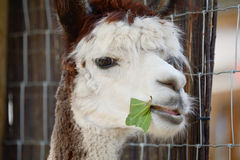Alpaca eating green leaf Royalty Free Stock Photos