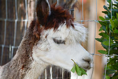Alpaca eating green leaves Royalty Free Stock Images
