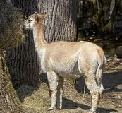 Alpaca eating hay 1 Stock Image