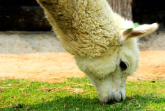 The alpaca eatting grass Stock Photography