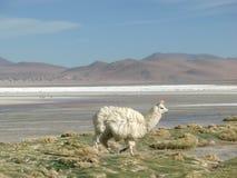 Alpaca em Laguna Colorada Imagens de Stock