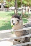 Alpaca en la granja Imágenes de archivo libres de regalías