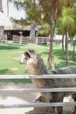 Alpaca en la granja Imagen de archivo libre de regalías