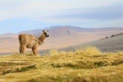 Alpaca en la laguna de Colorado, Bolivia Fotografía de archivo