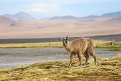 Alpaca en la laguna de Colorado, Bolivia Imagenes de archivo
