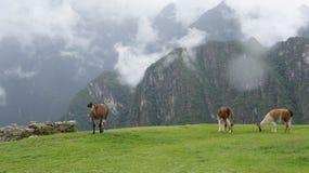 Alpaca en una montaña Fotografía de archivo libre de regalías