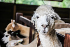 Alpaca enjoy eating. In Thailand stock photo