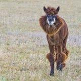 Alpaca esquilada imágenes de archivo libres de regalías