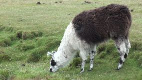 Alpaca exotic mammal wild animal in Andes mountains of Patagonia. stock video footage